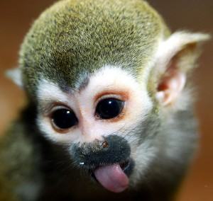 SQUIRREL MONKEY. This little trouble-makers can jump up to 8 feet among trees.