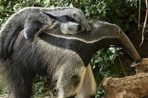 GIANT ANTEATER. Their very useful tongues can be up to 2 feet long and lick 160 times in 1 minute!
