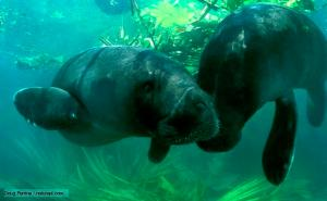 AMAZONIAN MANATEE.  The only plant-eating marine mammals. Also known as sea cows