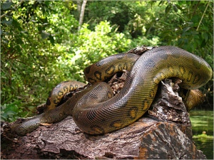 ANACONDA. Contrary to most beliefs the Anaconda is non-venomous. But it is still the largest snake on the planet!
