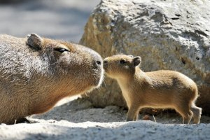 CAPYBARA. The largest of the rodent family, these cuties can weigh up to 200 pounds! Deceiving huh?