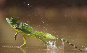 "GREEN BASILISK. Also know as THE JESUS LIZARD because of it's ability to ""walk"" on water."