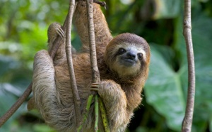 large-three-toed-sloth-photo