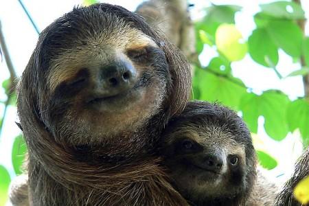 Sloth Smiling Sloth