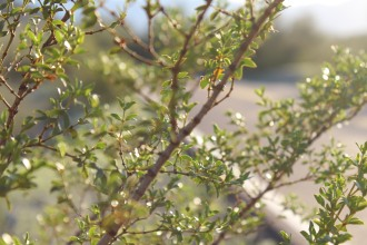 Creosote Bush, also known as the scent of the desert. After it rains, the Creosote leaves a hint of moist sweetness in the air.