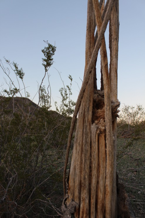 The remains of what used to be a majestic Saguaro.