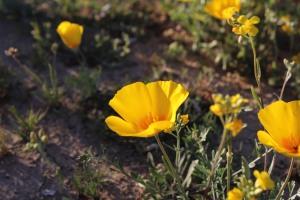az desert marigold