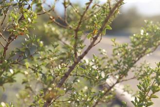 az creosote bush