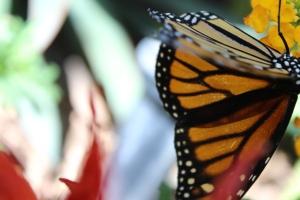 Monarch Butterfly Pavilion